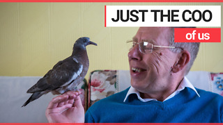 Man Trained Pigeon as Pet and they Even Watch TV Together