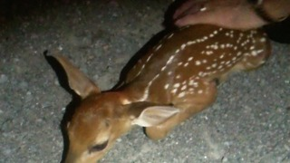 Young newborn fawn comforted after mother killed on highway