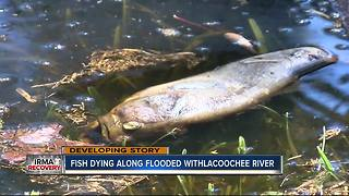 Dead fish popping up in flood water on Withlacoochee River - Video
