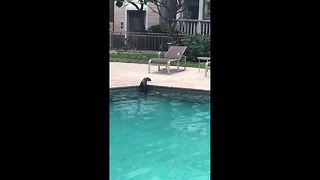 British Woman Amazed By Two Otters Swimming In Her Apartment's Pool - Video