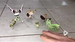 This Praying Mantis 'Boy Band' Waits For A Female To Arrive