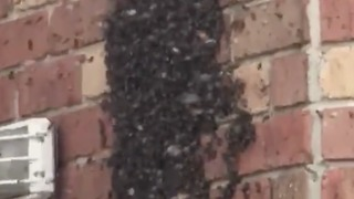 Woman Films Colony of Bees Living Inside Her Bedroom Walls - Video