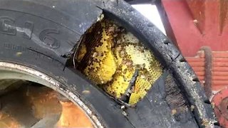 Beekeeper Safely Removes Bee Colony From Trailer Tire - Video