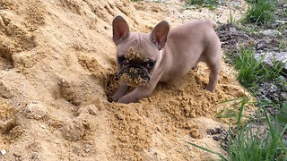 Baby French Bulldog plays in the sand