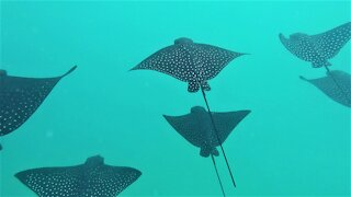 Diver swims with majestic spotted eagle stingray formation