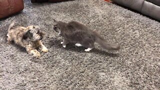 Dog and cat wrestling match is the cutest thing you'll see today