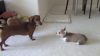 Dachshund totally ignores playful corgi puppy - Video