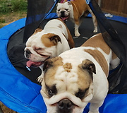 English Bulldogs fight over bottle while on trampoline