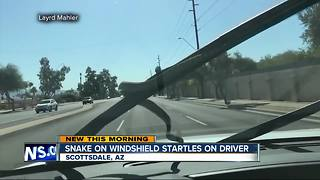 Snake on windshield in Scottsdale, Arizona