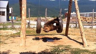 Clumsy Bear With Poor Balancing Skills Falls Off A Swing Set