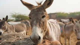British Couple On Mission To Save India's Overworked Donkeys - Video