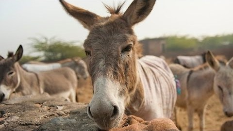 British Couple On Mission To Save India's Overworked Donkeys