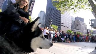Siberian Husky Enjoys Crazy Street Performance Just Like Human  - Video
