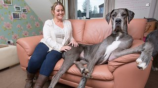 Britain's Biggest Dog - Video