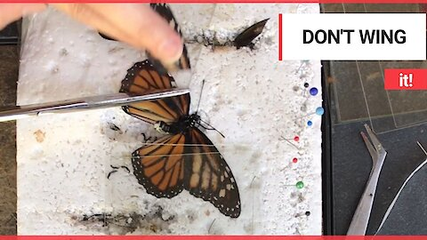 Zoo volunteer gives a deformed butterfly a wing transplant to help it fly again