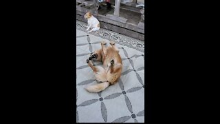Desperate doggy throws temper tantrum to get pup to play