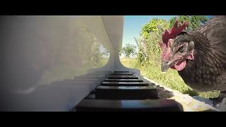 Talented chicken plays piano like a pro - Video