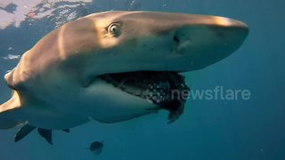 Compilation Of Extreme Close-Ups Of Sharks In Florida - Video
