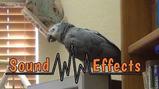 Parrot's amazing ability to reproduce various sound effects - Video