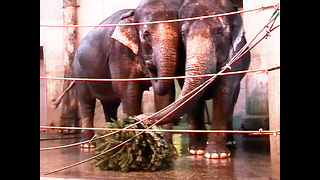 Elephants Snack On Christmas Trees - Video