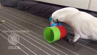 Rampaging Cockatoo is Unimpressed With Taped Towers - Video