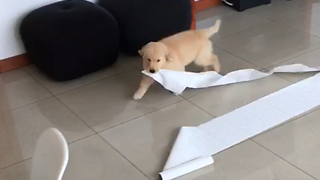 Puppy steals something from home. Very funny!  - Video