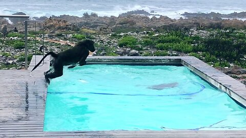Playful Baboons Go For Dip In Pool