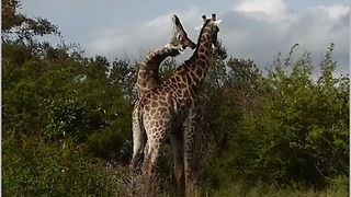 Fighting / necking Giraffes  - Video