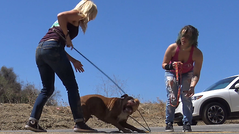 Pit Bull stranded in a canyon rescued by a Hope For Paws team.