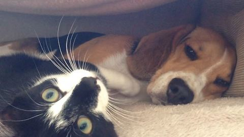 Patient Beagle Loses His Temper After Overly-Affectionate Cat Showers Him With Kisses