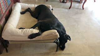 Funny Sleepy Great Dane Overflows Jumbo Dog Bed