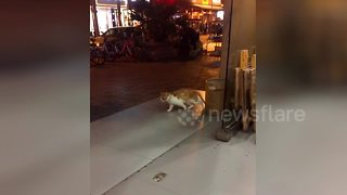 Cat 'exercises' using slippery floor as a treadmill - Video