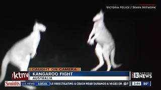Kangaroos caught on camera fighting
