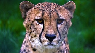 Racing To Save Cheetahs