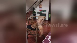 Cat Gets Hilariously Stuck Trying to Wriggle Through Narrow Gap on Chair - Video