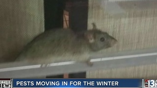 Colder weather means rodents and critters move into your home - Video