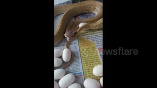 Terrifying moment deadly cobra strikes at filmer after laying egg - Video