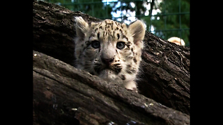 Baby Snow Leopards - Video