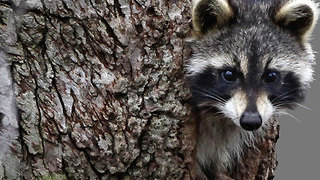 Raccoon tests positive for rabies in the Acreage - Video