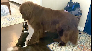 Sweet Cavalier puppy wants huge Newfie to be his best friend