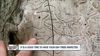 Why now is the best time to check your ash trees