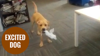 Hyper labrador Django bouncing around owners office