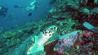 Sea turtle scratches itch on coral in Indonesia - Video