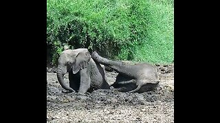 Young elephant refuses to share mud bath with brother