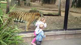 Kids Play Peek-A-Boo With Zoo Tiger - Video