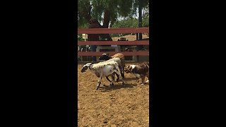 Australian Shepherd aces his instinct herding test