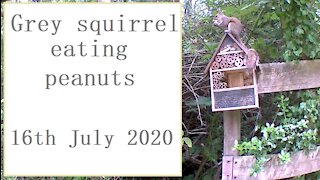Grey squirrel eating peanuts at the nut-hut