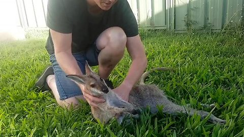 Wildlife rescuer films gut-wrenching moment wallaby dies in his arms