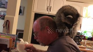 Raccoon sits on owner's head while he eats meal - Video