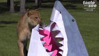 Lion Country Safari celebrates Shark Week - Video
